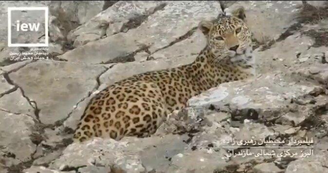 فیلم ، لحظه بی نظیر نگاه تمام رخ پلنگ ایرانی به دوربین
